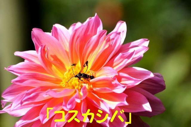 JPG_1916(コスカシバ).jpg