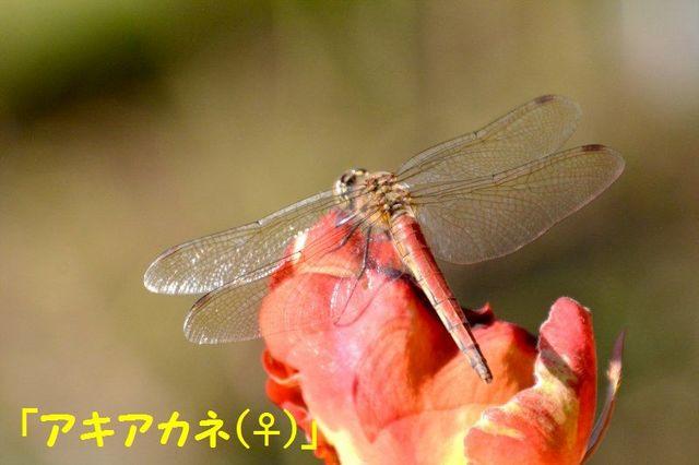 JPG_2555(アキアカネ♀).jpg